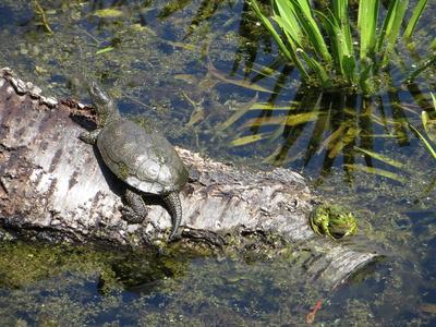 Schildkröte und Frosch