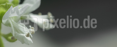 Basilikumblüte