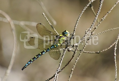 Die Blaugrüne Mosaikjungfer - Aeshna cyanea