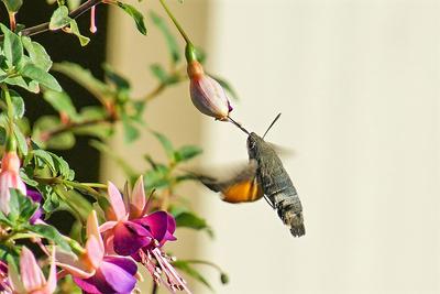 Ein Kolibri... im eigenen Garten