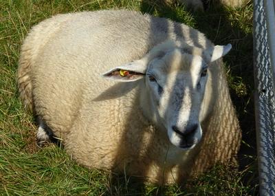 Armes Schaf