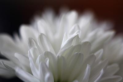 Detail einer weißen Chrysantheme
