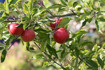 Rote Äpfel sind so lecker