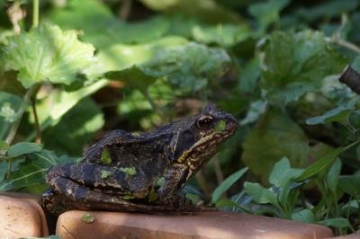 Frosch-1
