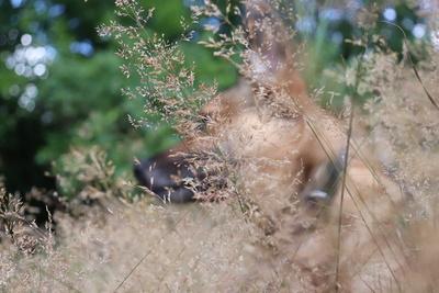 Hund Skali in Sommerwiese
