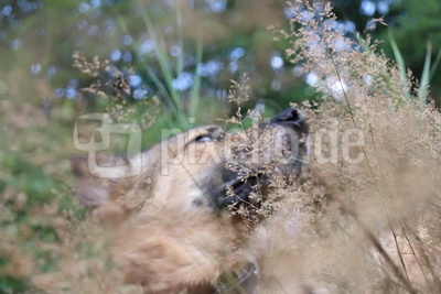 Hund in Sommerwiese