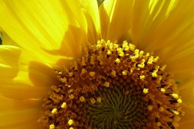 Sonnenblume ganz nah