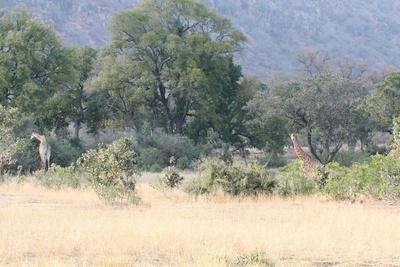 Giraffen mit Landschaft