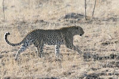 Leopard läuft an uns vorbei