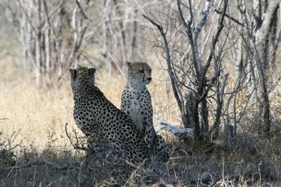 Geparden im Schatten