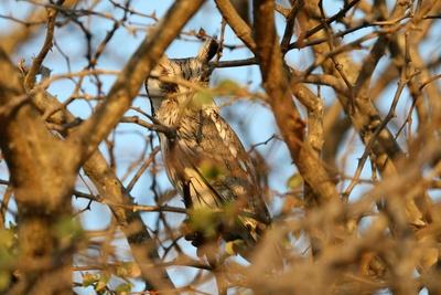 Kleinohreule im Baum