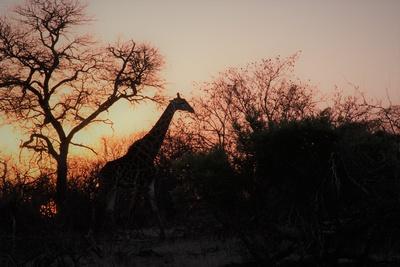 Sonnenuntergang mit Giraffe