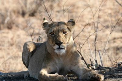 Löwin bewacht Beute