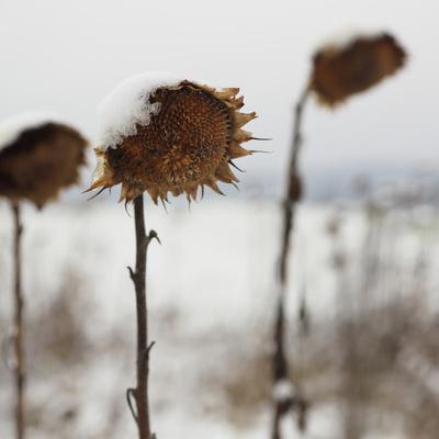 Sonnenblume im Schnee