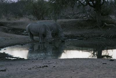 Nashörner in der Abenddämmerung am Wasserloch