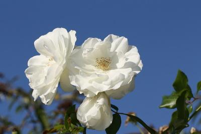 Weiße Rose gen Himmel