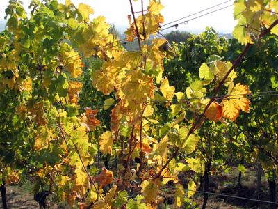 Goldener Herbst in der Pfalz