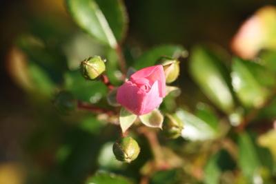 Rose noch geschlossen