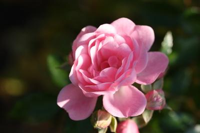 Rosen sind schön