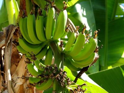 Bananen frisch am Baum