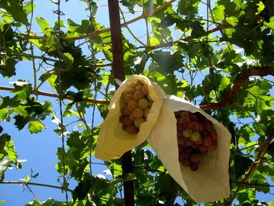 Weintrauben, eingetütet als Sonnenschutz