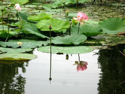 Lotusblume gespiegelt im See