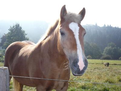 Pferd  im  Sauerland,