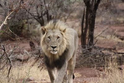 Löwe Frontal
