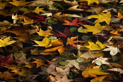 Schwimmende Herbstblätter