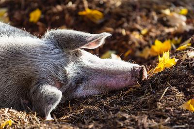 schweinisches Nickerchen