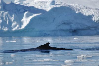 Wal_Grönland
