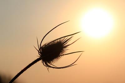Distel im Sonnenuntergang
