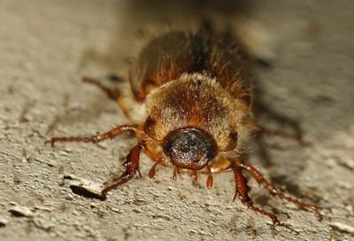 Käfer an der Wand