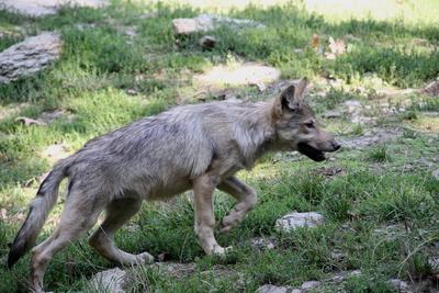 Timberwolf-Welpe