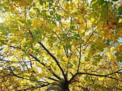 nussbaum im herbstkleid
