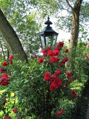 Die letzten roten Rosen