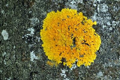 gelbe trichterförmige Baumflechte
