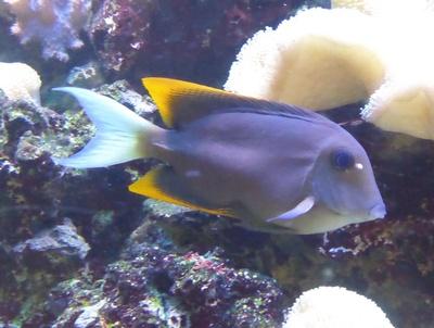 Aquariumfisch