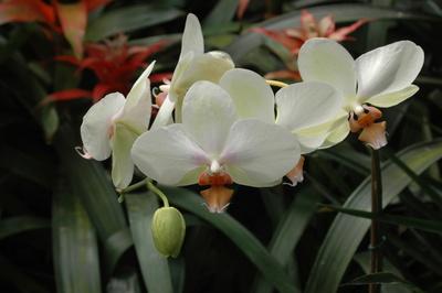 White Orchids_DSC_0085_