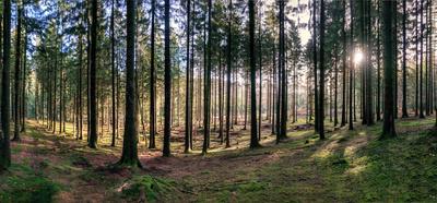 Fichtenwald im Sonnenschein