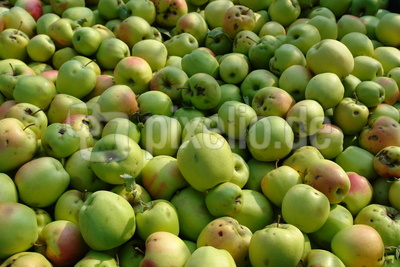 Apfelernte #4