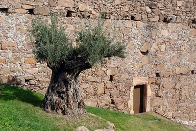 uralter Olivenbaum am Burghügel