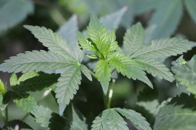 Cannabis, Hanf, Marihuana Foto