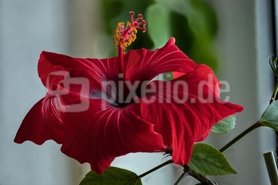 Rote Schönheit