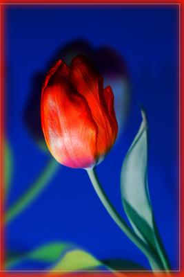2 tulpen