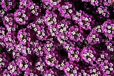 Wallpaper Blütenexplosion