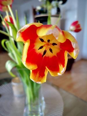 Blick in eine Tulpe