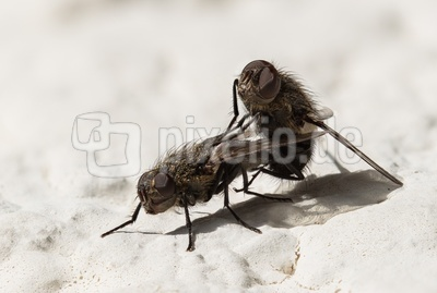Fleischfliegenglück-2