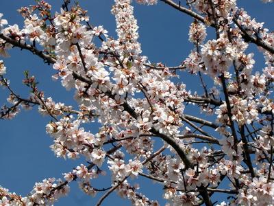Weiße Mandelblüte