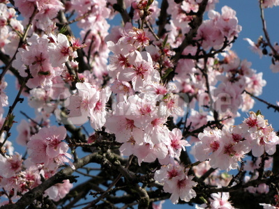 Einfach wunderschön - Mandelblüte in der Pfalz